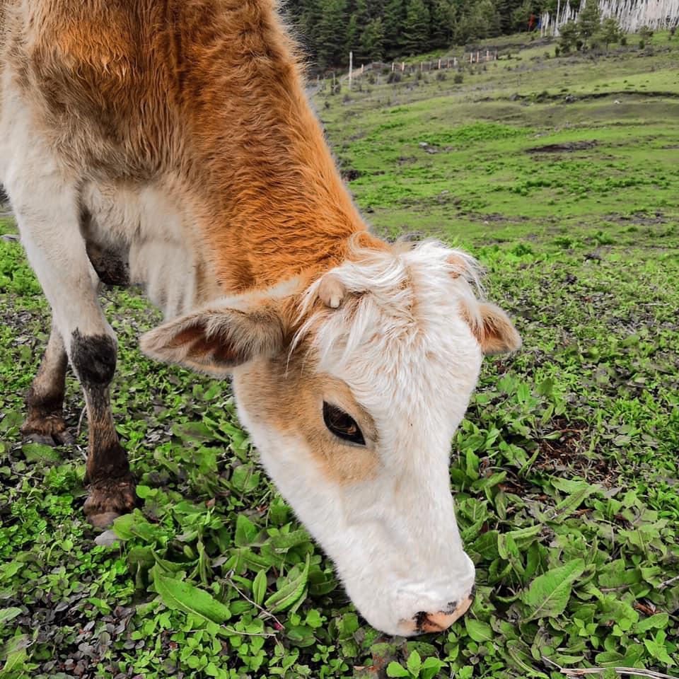Vaca no Butão